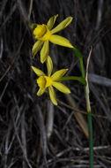 Image of <i>Narcissus jonquilla fernandesii</i>