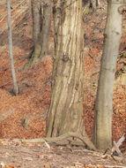 Image of European beech