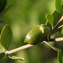 Image of jojoba family