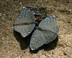 Image of <i>Hamanumida daedalus melaegris</i>