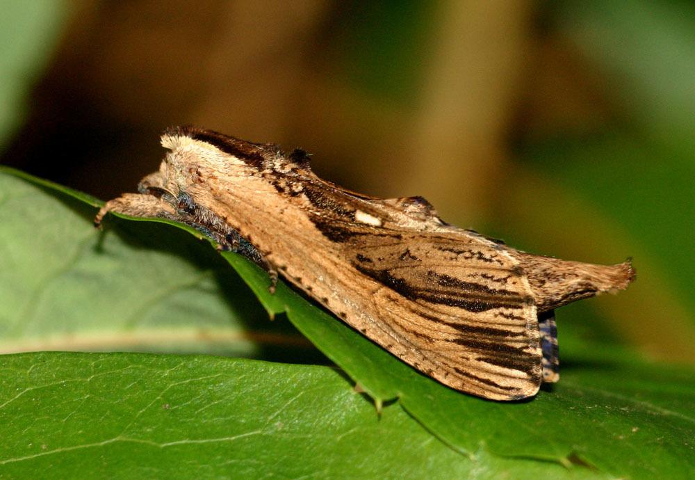Image of <i>Strigocossus ochricosta</i> (Fletcher D. S. 1968)