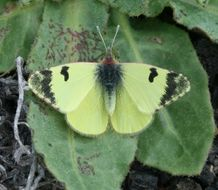 Image of <i>Euchloe charlonia</i>