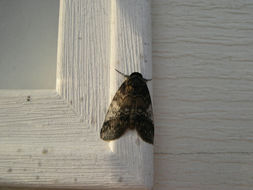 Image of Pale Baileya