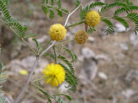 Image of sweet acacia