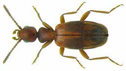 Image of <i>Anthicus guttifer</i> Wollaston 1864