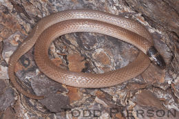 Image of Southeastern Crowned Snake