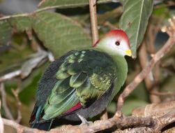 Image of Red-crested Turaco