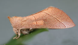 Image of White-dotted Prominent, Rough Prominent