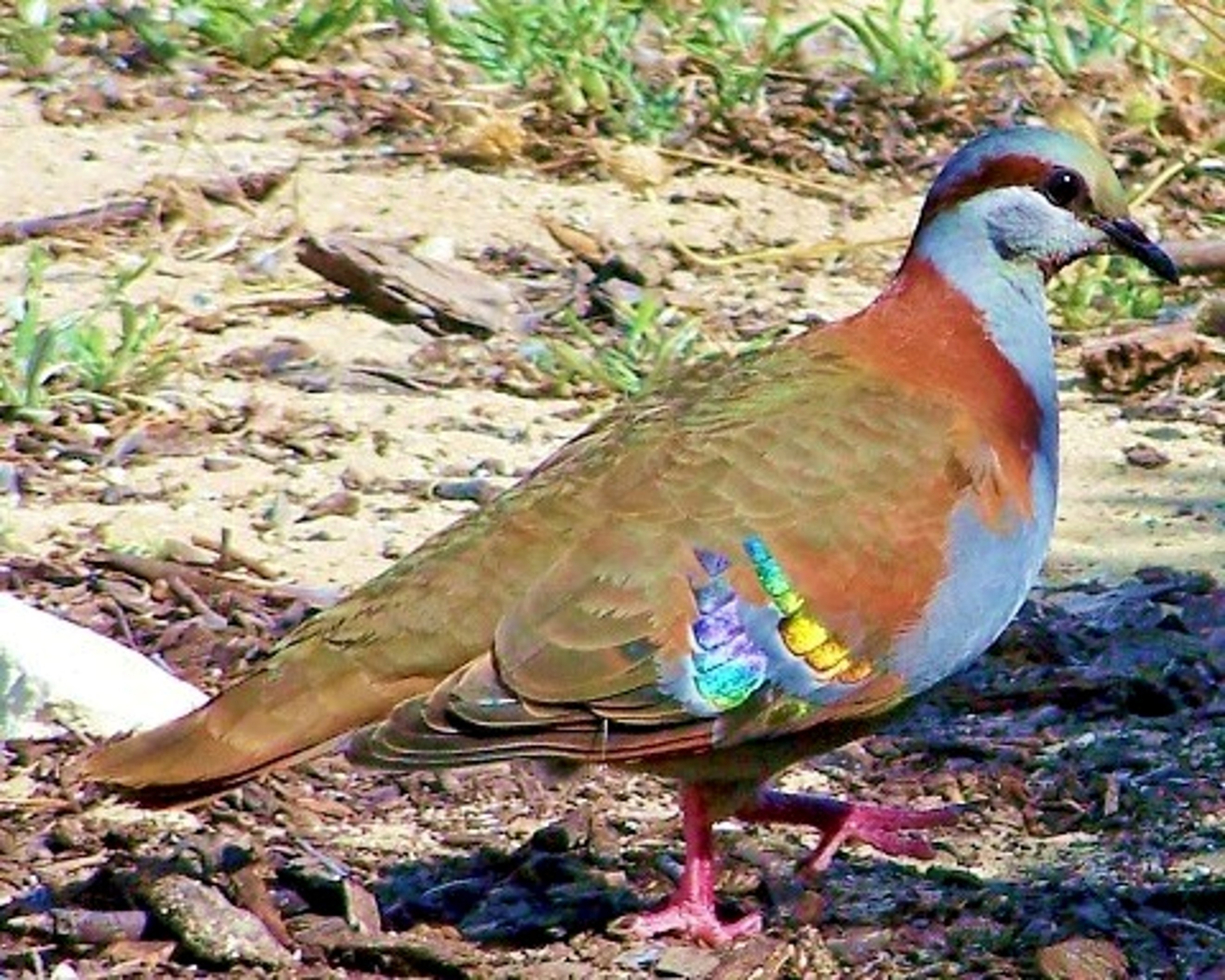 Image of Brush Bronzewing