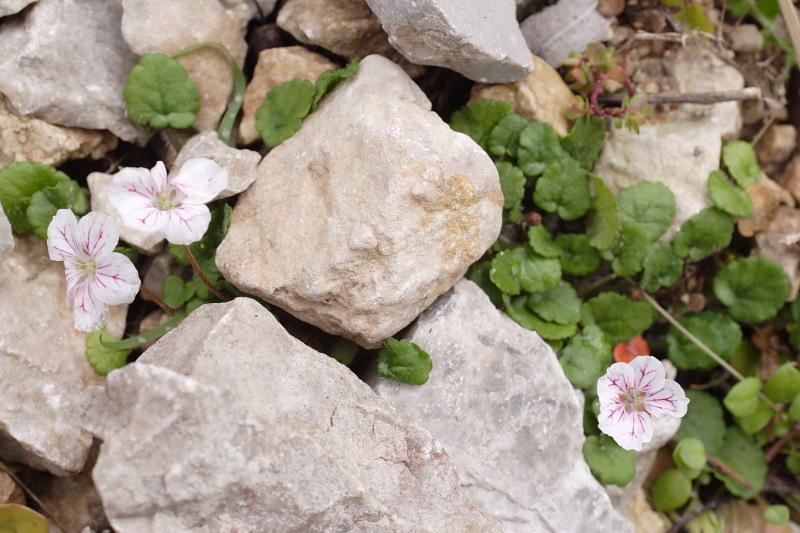 Image of <i>Erodium reichardii</i> (Murray) DC.