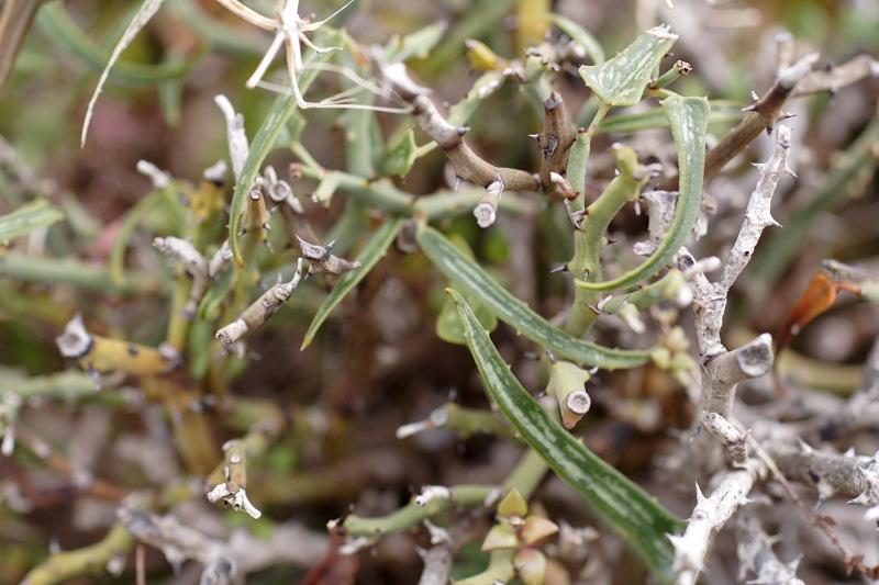 Image of <i>Smilax aspera</i> ssp. <i>balearica</i>