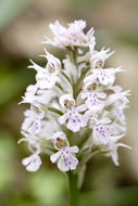 Image of <i>Orchis conica</i>