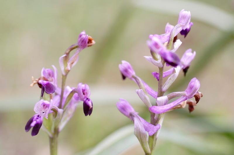 Image of <i>Orchis longicornu</i>
