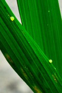 Image of Leaf blight