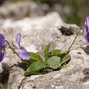 Image of <i>Viola jaubertiana</i> Marès & Vigineix