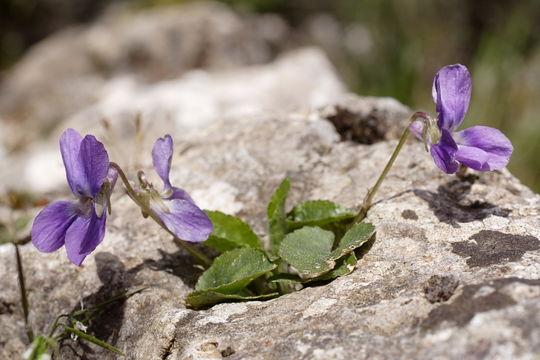 Image of <i>Viola jaubertiana</i> Marès & Vigineix
