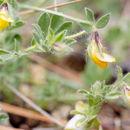 Image of <i>Lotus edulis</i> L.