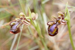 Image of Mirror orchid