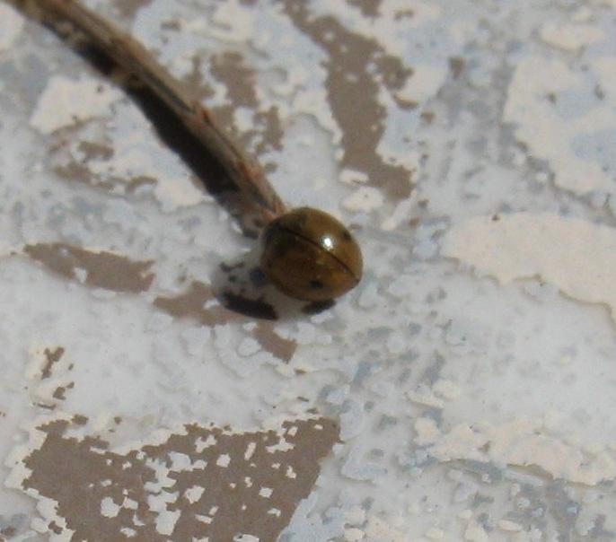 Image of <i>Exochomus quadriplagiatus</i>