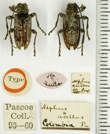 Image of <i>Necalphus asellus</i> (Pascoe 1866)