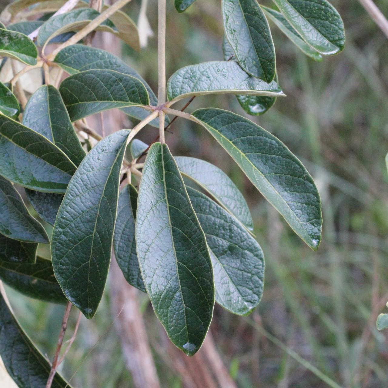 Image of <i>Zeyheria montana</i> Mart.