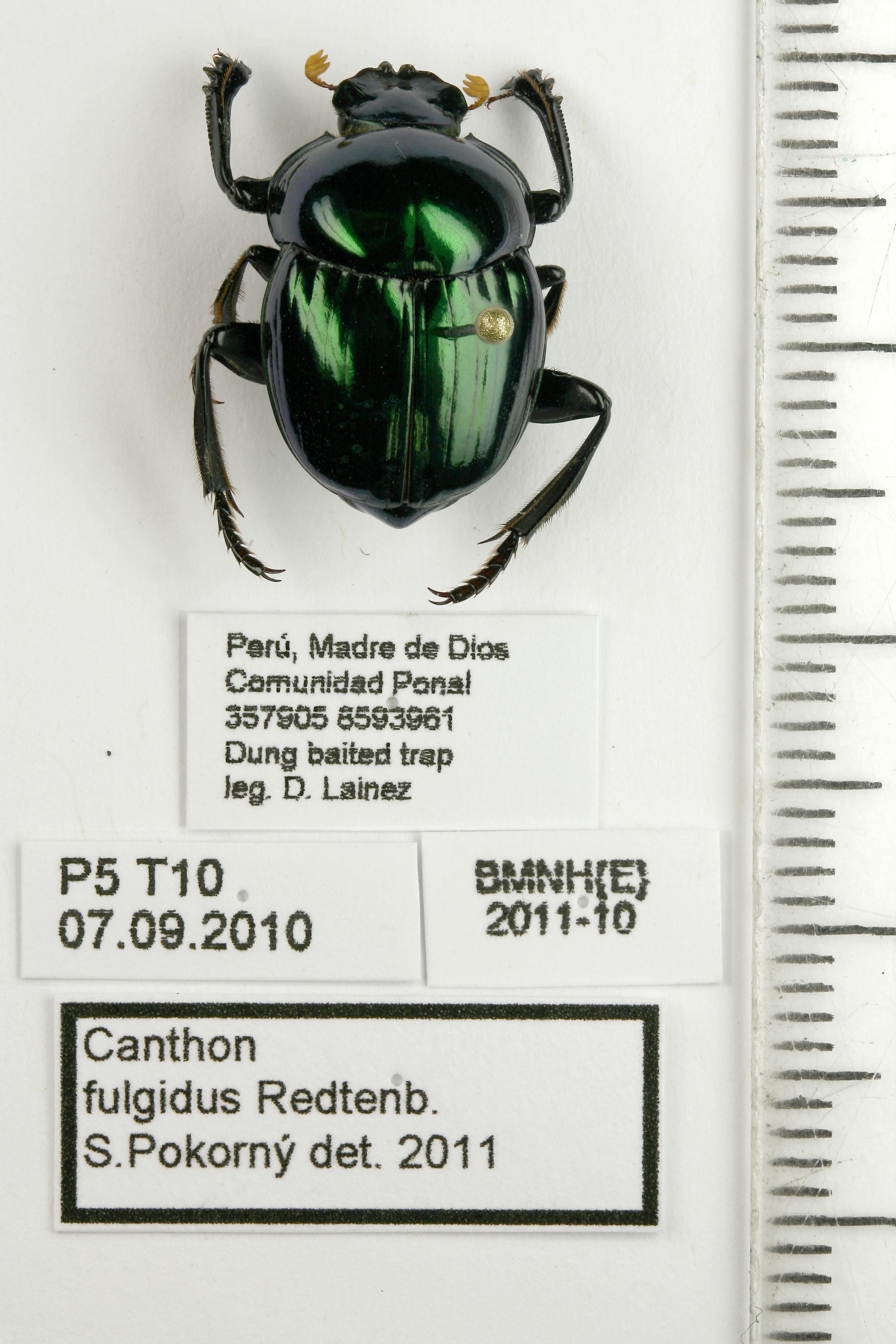 Image of <i>Canthon</i> (<i>Goniocanthon</i>) <i>fulgidus</i> Redtenbacher 1867