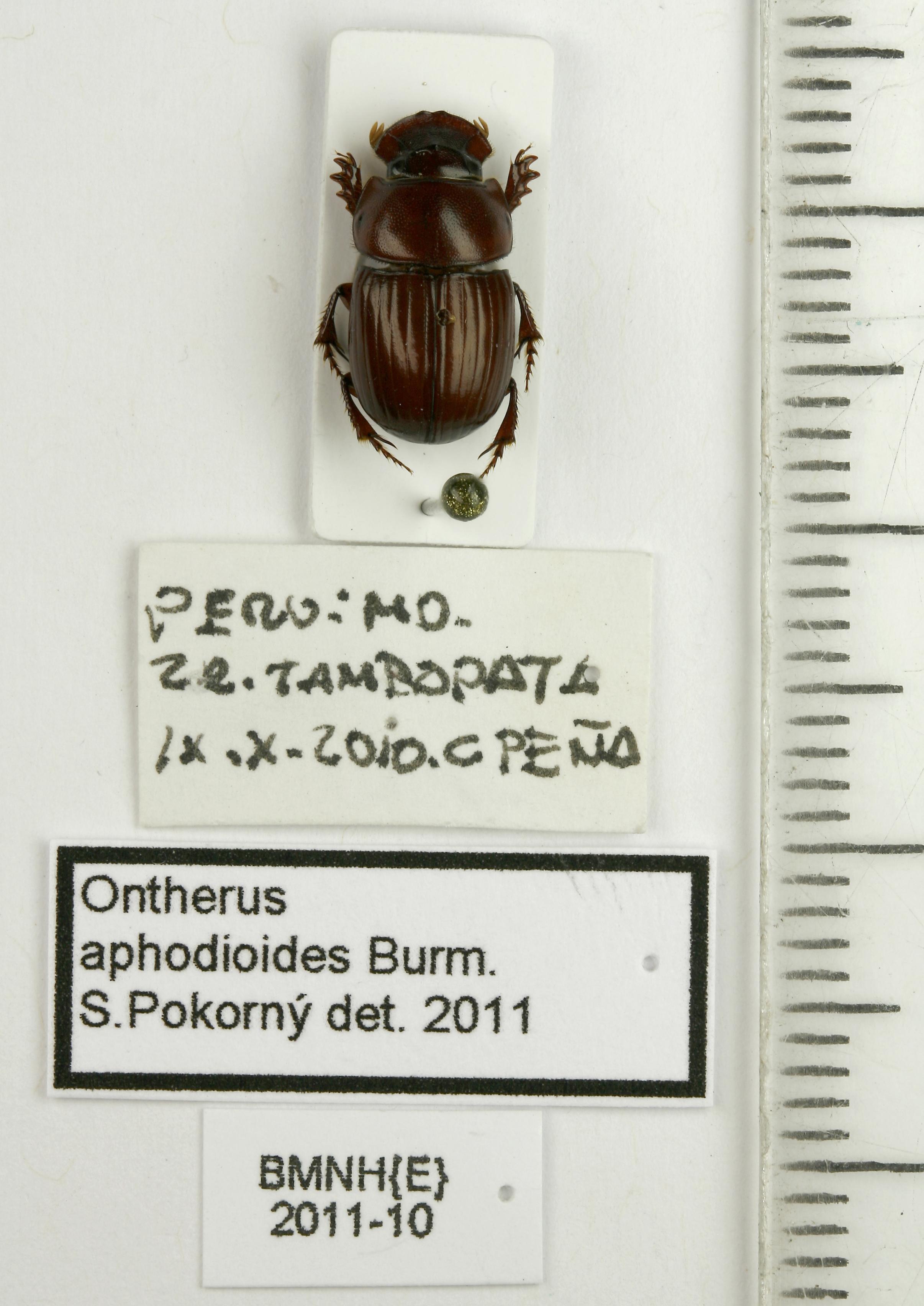 Image of <i>Ontherus aphodioides</i> Burmeister 1874