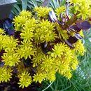 Image of <i>Aeonium arboreum</i> (L.) Webb & Berth.