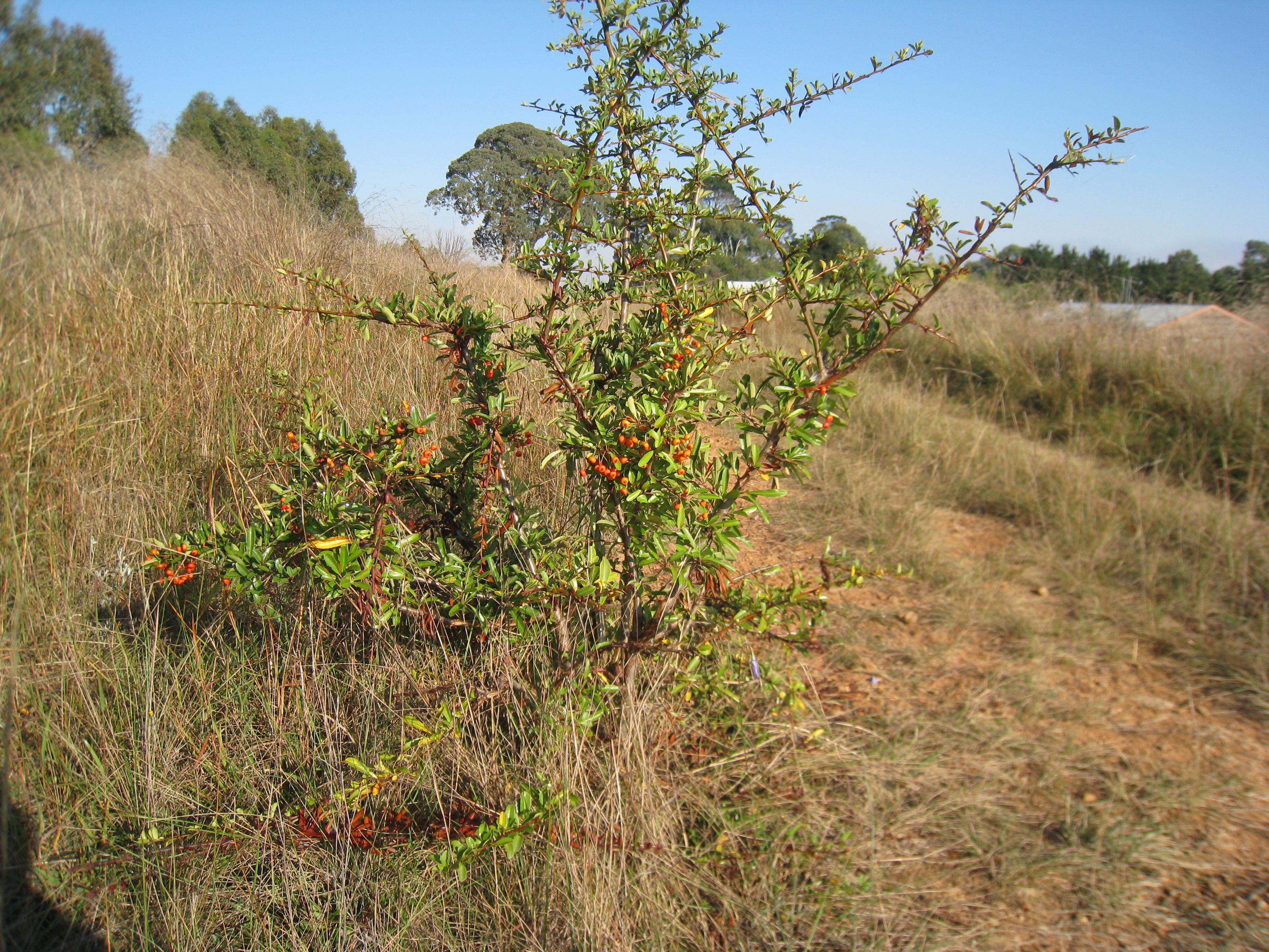 Image of <i>Pyracantha rogersiana</i> (A. B. Jacks.) Coltm.-Rog.