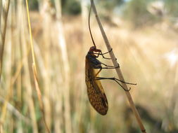 Image of <i>Chorista australis</i> Klug 1838