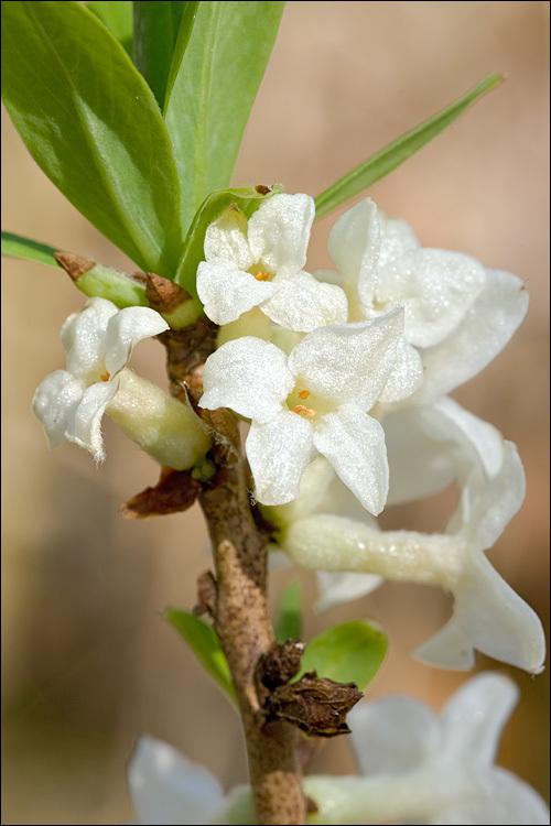 Image of <i>Daphne mezereum</i> Daphne mezereum fm. alba Daphne White Mezereon navadni volin