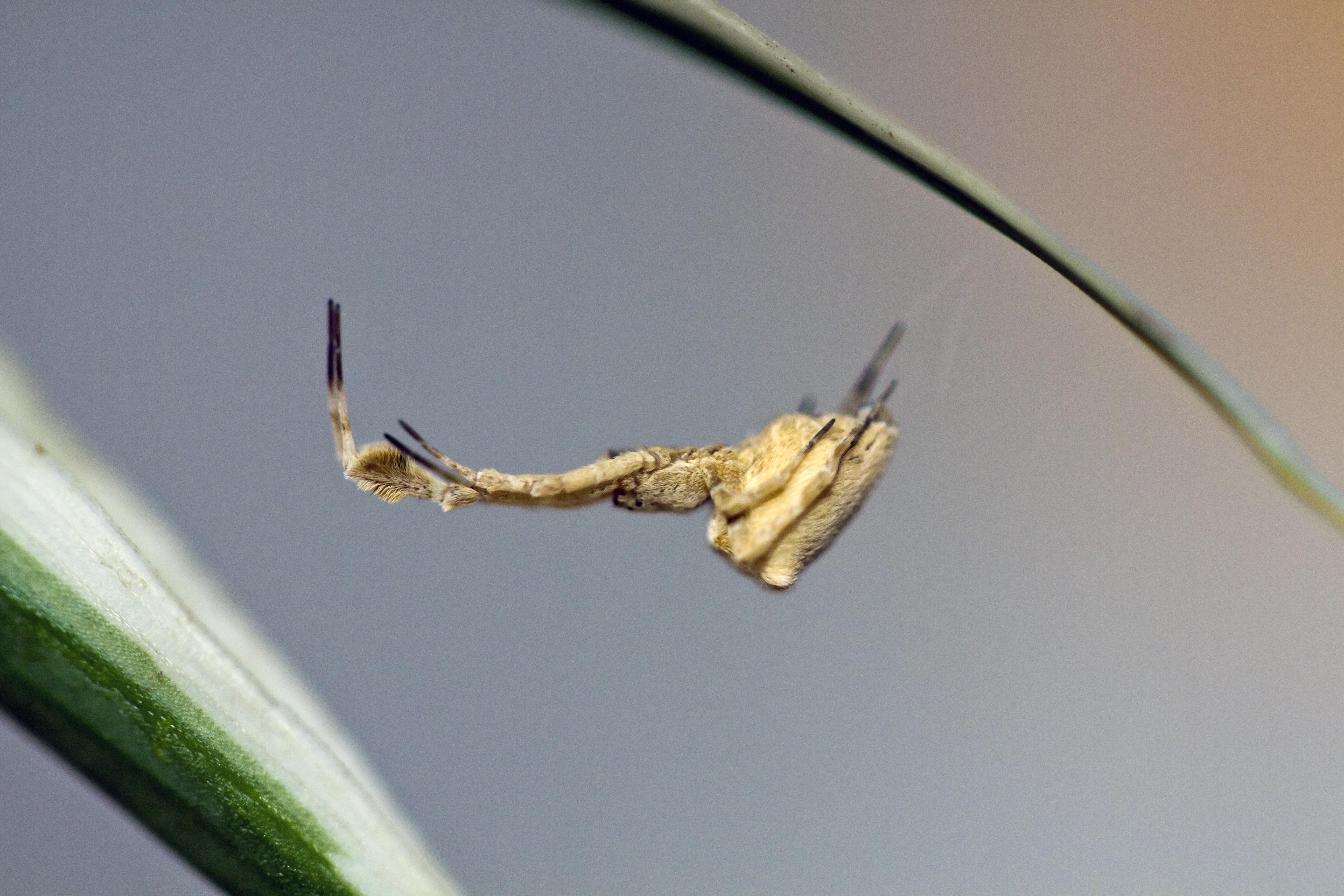 Image of <i>Uloborus plumipes</i> Lucas 1846