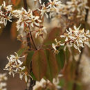 Image of common serviceberry