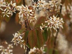 Image of common serviceberry