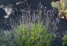 Image of <i>Lavandula canariensis</i> (L.) Mill.