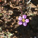 Image of <i>Fagonia cretica</i> L.