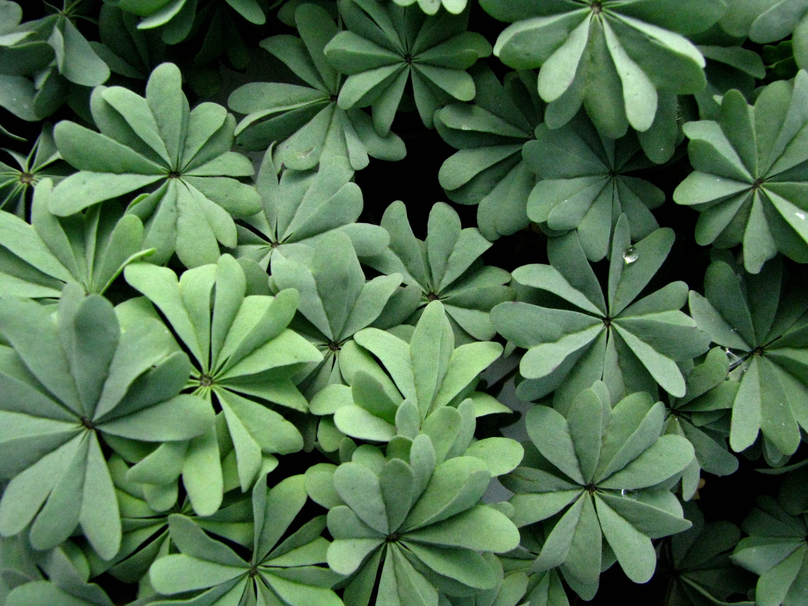 Image of Chilean Wood Sorrel