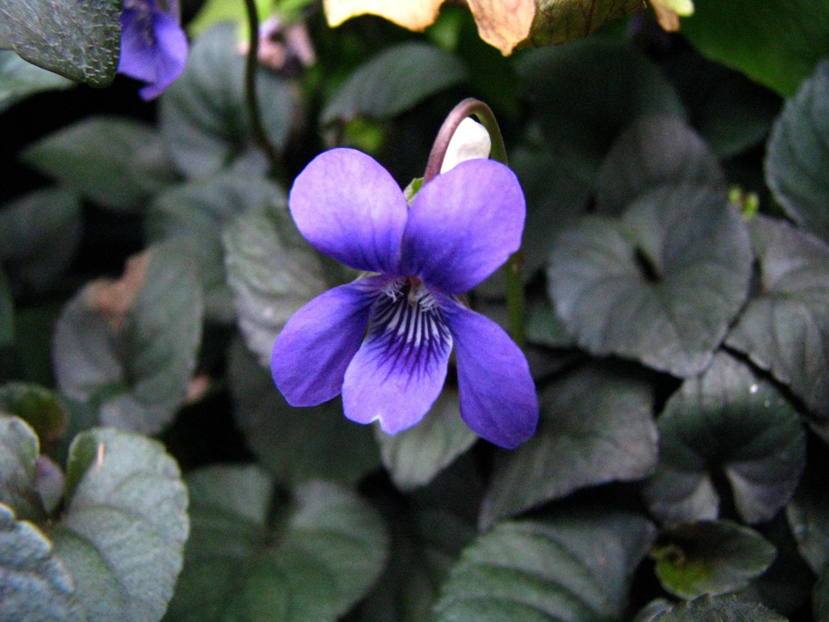 Image of alpine violet