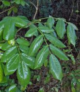 Image of <i>Piscidia piscipua</i>