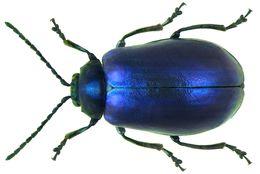 Image of Alder leaf beetle