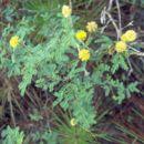 Image of pineland wattle