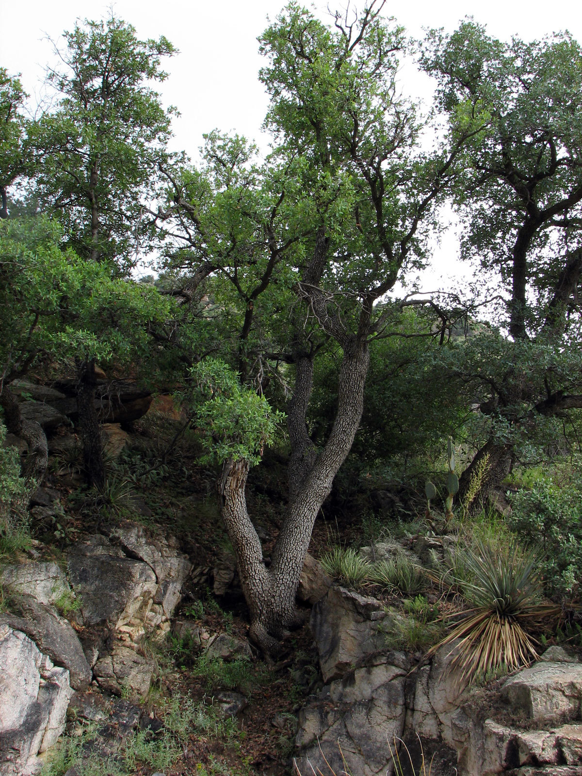 Image of Mexican Blue Oak