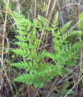 Image of pineland fern