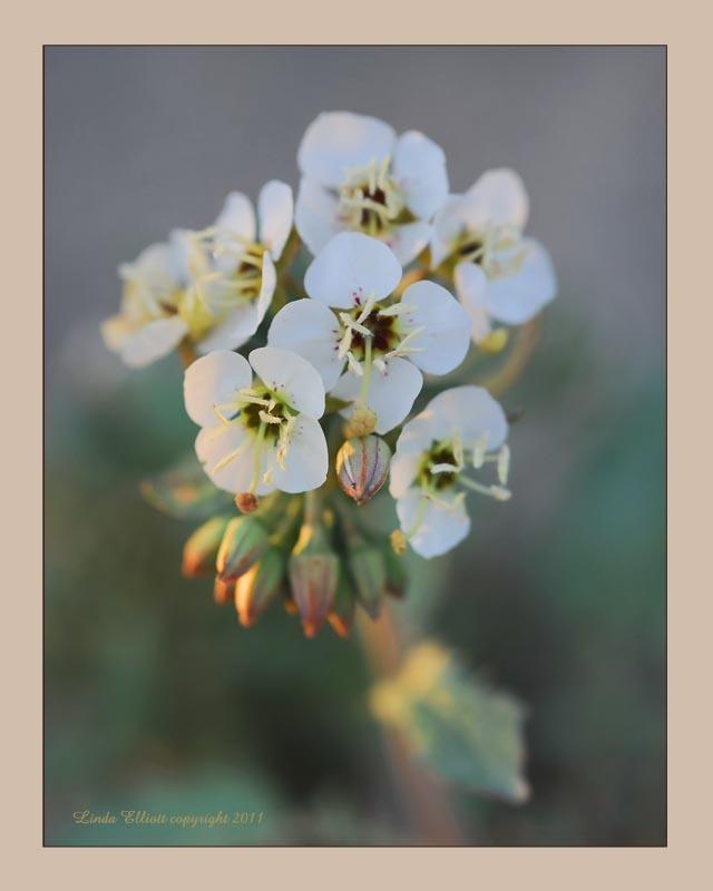 Image of <i>Camissonia claviformis</i>