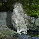 Image of Blakiston's Eagle-owl