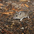 Image of Cotton Deermouse