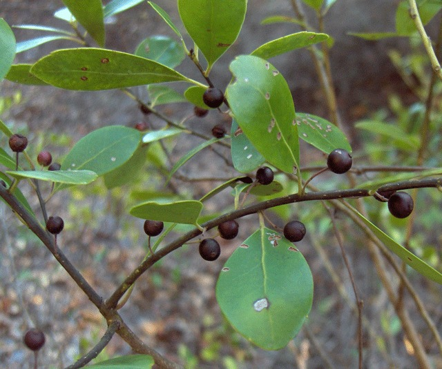 Image of scentless bayberry