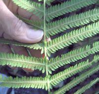 Image of <i>Thelypteris tetragona</i> (Sw.) Small