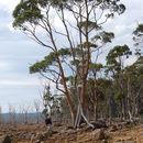 Image of <i>Eucalyptus rodwayi</i> R. T. Baker & H. G. Smith