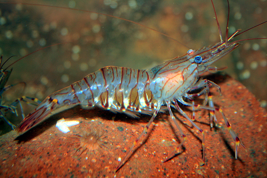 Image of Common prawn